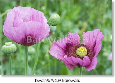 Art print of opium poppy flower closeup barewalls posters prints art print of opium poppy flower closeup mightylinksfo