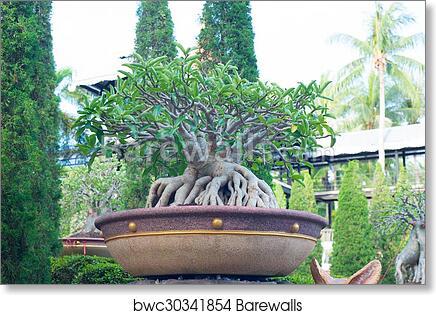 Adenium Obesum Bonsai Tree In Flowe Art Print Barewalls Posters Prints Bwc30341854