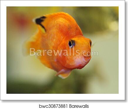 art print of blood red parrot cichlid barewalls posters prints