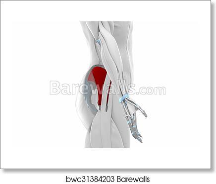 Art Print Of Gluteus Minimus Muscles Anatomy Map Barewalls