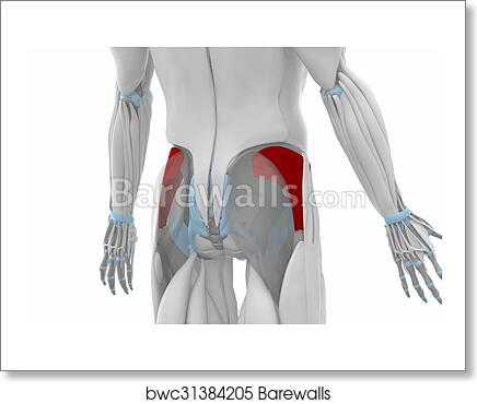 Art Print of Gluteus minimus- Muscles anatomy map | Barewalls ...