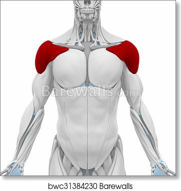 Art Print of Deltoid - Muscles anatomy map | Barewalls Posters ...