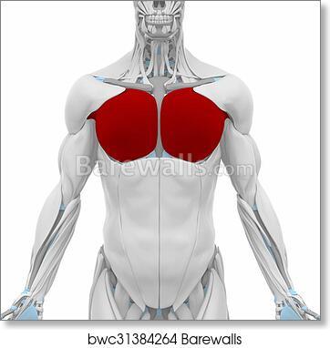 Art Print of Pectoralis major - Muscles anatomy map   Barewalls ...