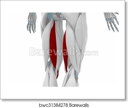 Art Print of Semitendinosus - Muscles anatomy map | Barewalls ...