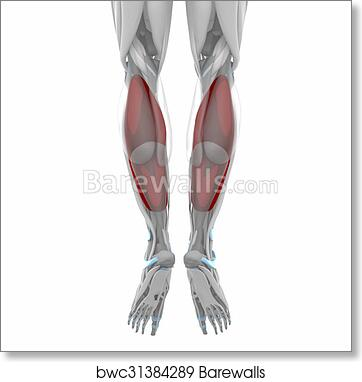 Art Print Of Soleus Muscles Anatomy Map Barewalls Posters