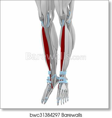 Art Print Of Tibialis Anterior Muscles Anatomy Map Barewalls