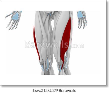 Art Print of Vastus lateralis - Anatomy map muscles | Barewalls ...