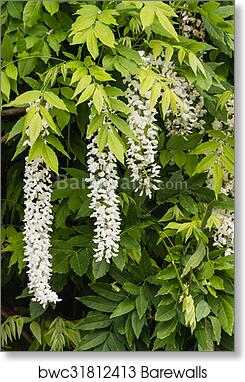 White Wisteria Flowers And Leaves Art Print Barewalls Posters