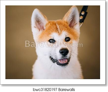 Young White And Red Akita Inu Dog Puppy Art Print Barewalls Posters Prints Bwc31820197