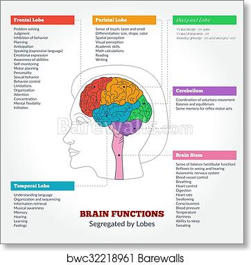 Human Brain Anatomy And Functions Art Print Poster