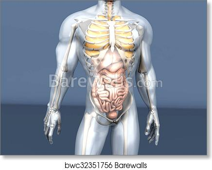 Art Print of Human Anatomy visualization - Internal Organs ...