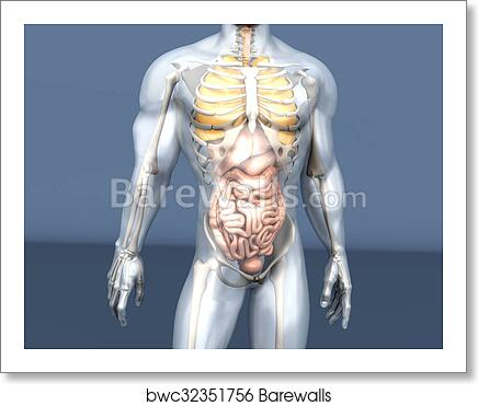 Art Print Of Human Anatomy Visualization Internal Organs