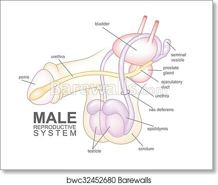 Art Print of Male reproductive system cartoon | Barewalls Posters ...