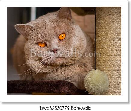 Close Up Portrait British Shorthair Lilac Cat Art Print Barewalls Posters Prints Bwc32530779