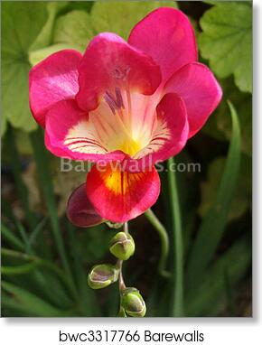 Art print of pink freesia barewalls posters prints bwc3317766 art print of pink freesia mightylinksfo