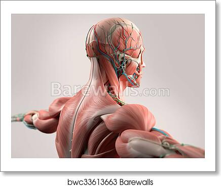 Art Print of Human anatomy,head,shoulder,muscles | Barewalls Posters ...