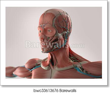 Art Print Of Human Anatomy Face Muscles Barewalls Posters Prints