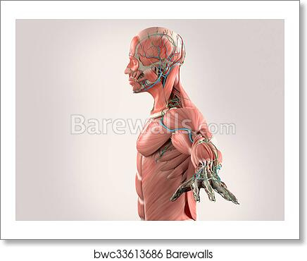 Art Print Of Human Anatomy Side View Chestgrey Barewalls Posters