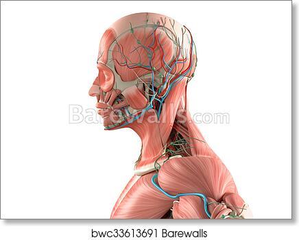Art Print Of Human Anatomy Side View Head White Barewalls Posters