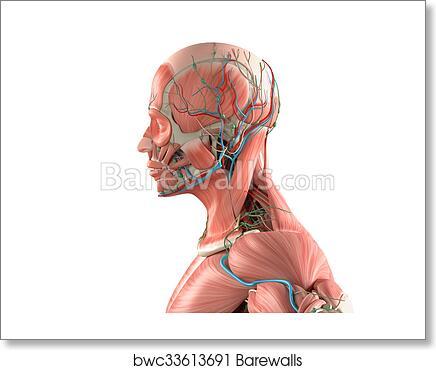 Anatomy Side View Interest Best Photo Gallery Websites With Anatomy ...