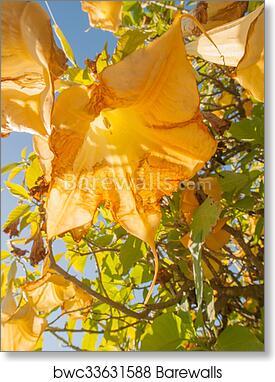 Art print of yellow angels trumpet flower barewalls posters art print of yellow angels trumpet flower mightylinksfo