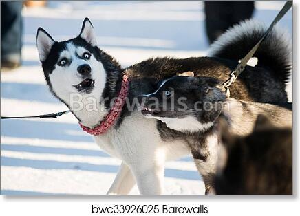 art print of cute funny dog hasky running in winter barewalls
