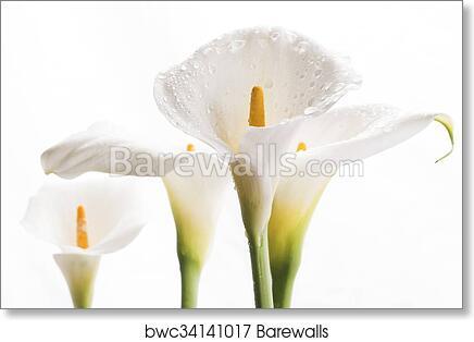 White Calla Lily Flowers Art Print Barewalls Posters Prints