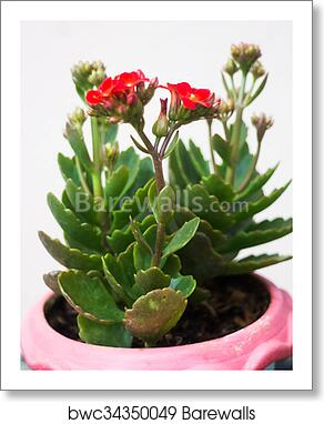 Kalanchoe flowering plant in pot art print poster on kalanchoe blossfeldiana care, kalanchoe care indoors, kalanchoe flower,