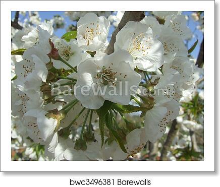 Art Print Of La Flor Del Cerezo Cherry Tree Barewalls Posters