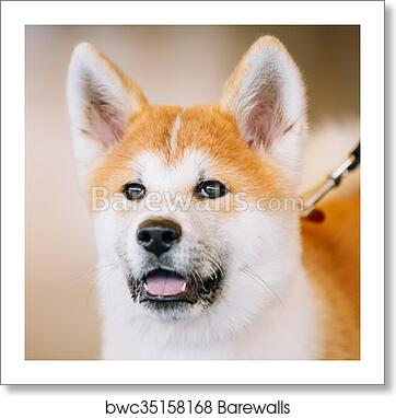 Young White And Red Akita Inu Dog Puppy Art Print Barewalls Posters Prints Bwc35158168