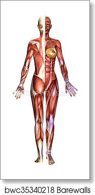 3d Female Body Anatomy Art Print Barewalls Posters Prints Bwc35340218