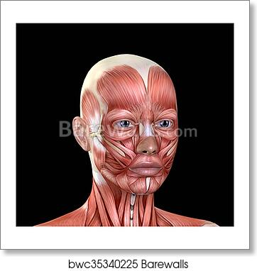 Art Print Of Female Face Muscles Anatomy Barewalls Posters