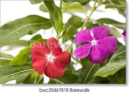 Art Print of Madagascar periwinkle flowers | Barewalls Posters ...