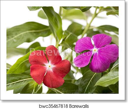 Madagascar periwinkle flowers art print poster
