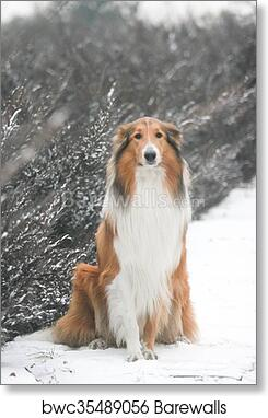 ROUGH AND SMOOTH COLLIE DOGS LOVELY VINTAGE STYLE DOG PRINT POSTER