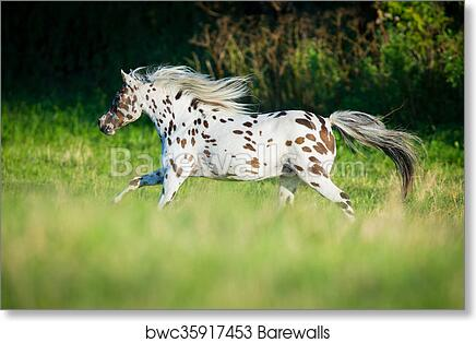 CANVAS Appaloosa in a Pasture Art print POSTER