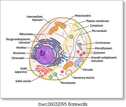 Anatomy of the human cell images human anatomy organs diagram art print of vector human cell structure barewalls posters ccuart Image collections