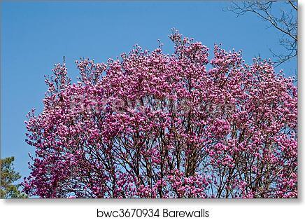 Japanese Magnolia Tree In Full Bloom Art Print Barewalls Posters