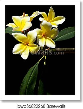 Art print of yellow plumeria spa flowers in bloom barewalls fragrant beautiful plumeria flowers used in spas are blossoming on the tree in bonita springs florida in the spring time art prints mightylinksfo