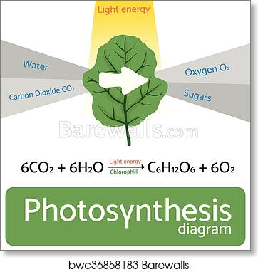 Art Print Of Photosynthesis Diagram Schematic Vector Illustration