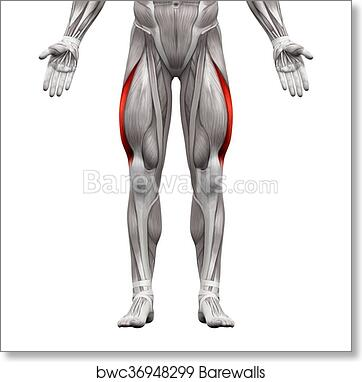 Art Print of Vastus Lateralis Muscle - Anatomy Muscles isolated on ...