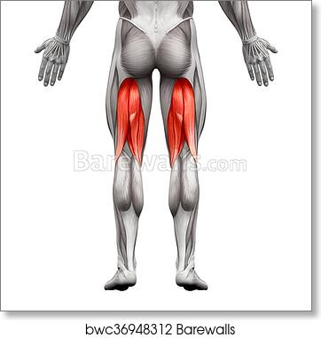 Art Print of Hamstrings Male Muscles - Anatomy Muscle isolated on ...
