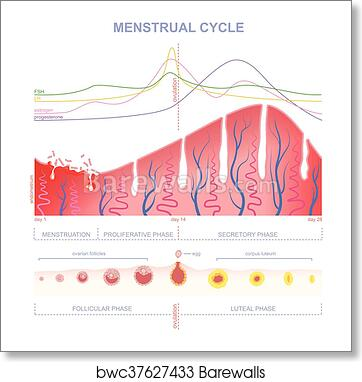 Art Print of Scheme of the menstrual cycle | Barewalls Posters ...