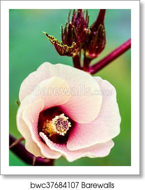 Jamaica Sorrel Or Hibiscus Sabdariffa Flower Art Print Barewalls