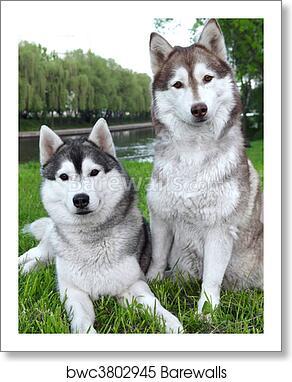 Pair Of Husky Dogs Outdoors Art Print Barewalls Posters Prints Bwc3802945