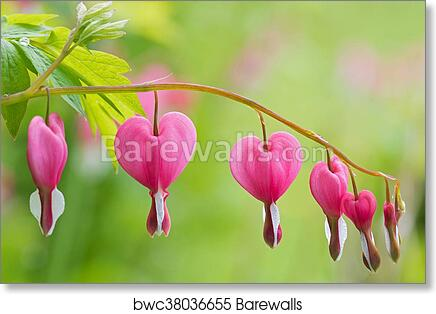Art print of soft focus of heart shaped bleeding heart flower in art print of soft focus of heart shaped bleeding heart flower in pink and white color after the rain mightylinksfo