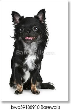 Black Long Haired Chihuahua Puppy Art