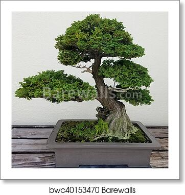 Bonsai Tree Art Print Barewalls Posters Prints Bwc40153470
