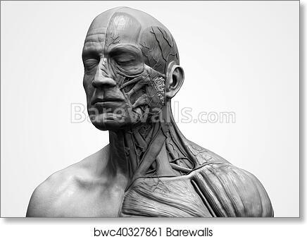 Art Print Of Human Body Anatomy Of A Male Barewalls Posters