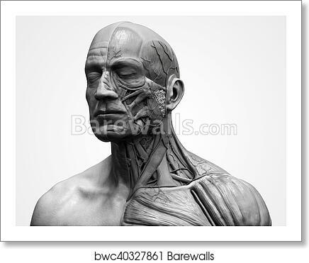 Human Body Anatomy Of A Male Art Print Barewalls Posters Prints Bwc40327861